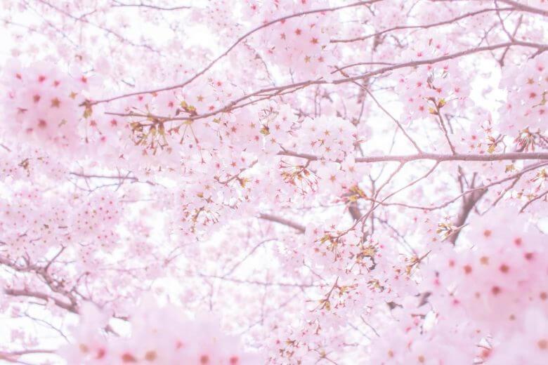 昭和記念公園・桜の見頃はいつくらい?場所取りは必要?混雑状況と開花時期